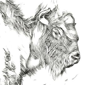 buffalo-sketch